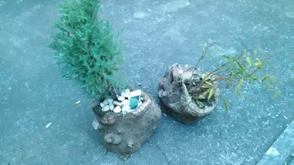 2種類の幹の植木鉢が完成