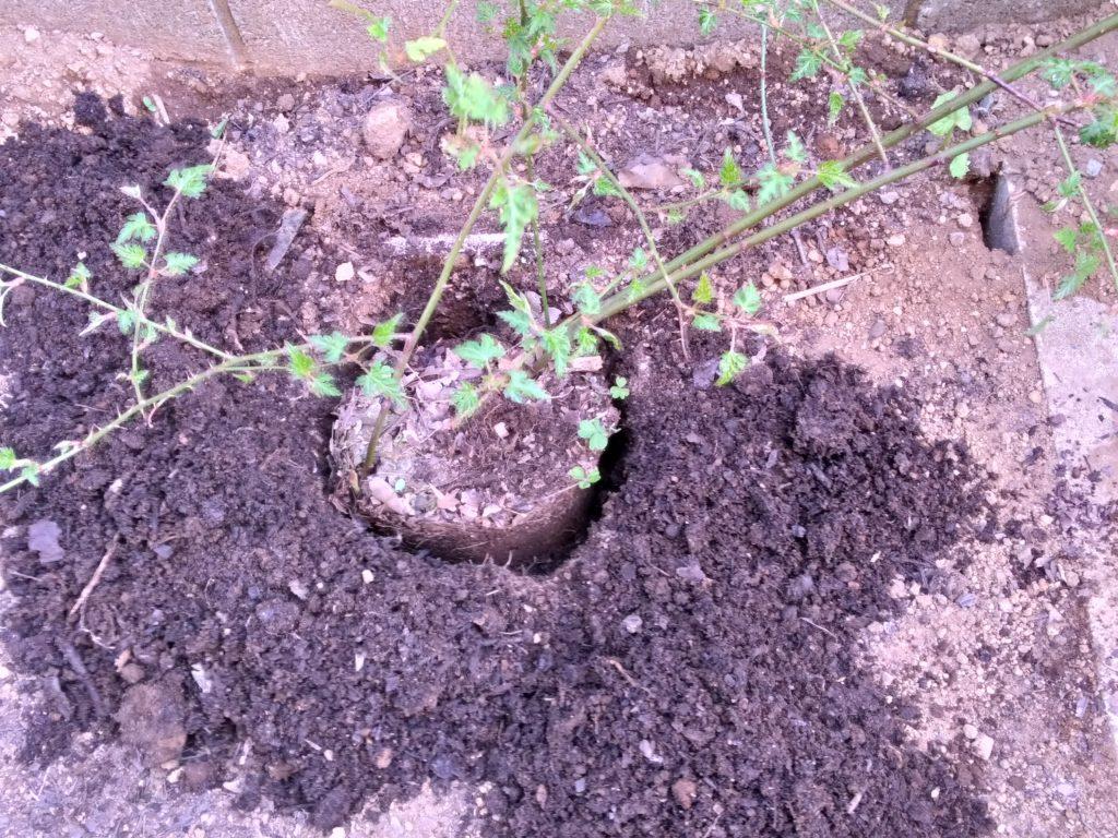 地植えするモミジイチゴ