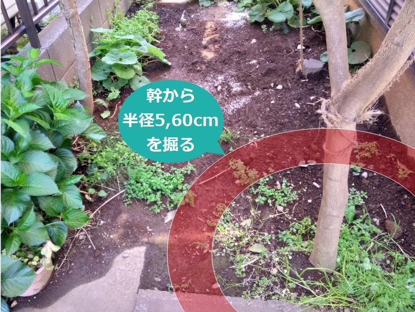 幹から5,60cmを掘る