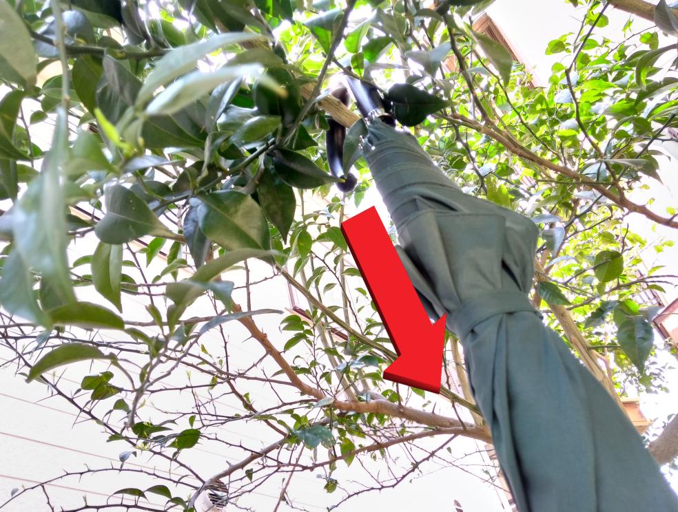 傘で枝を引っ張る