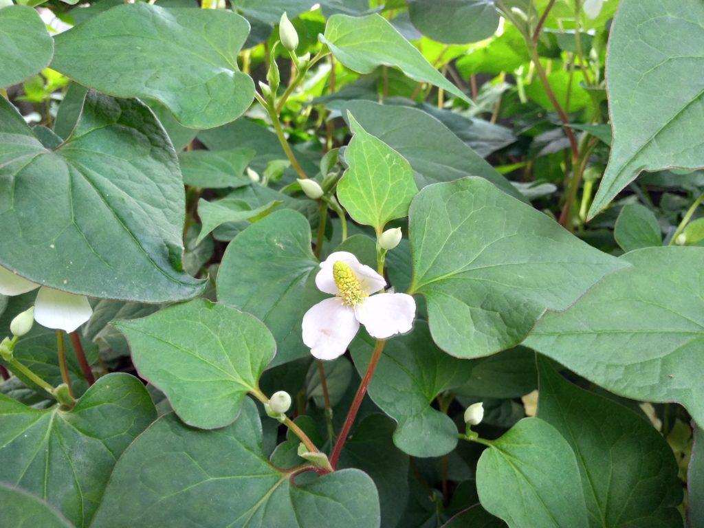 ドクダミの葉と花