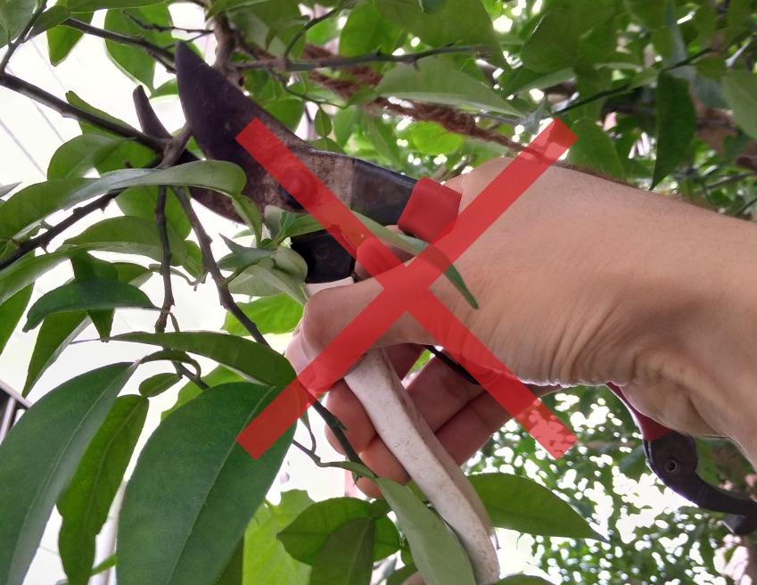 ユズの枝を切らない